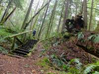 Backpacker and staircase are dwarfed by a massive, fallen fir tree |  <i>Keri May</i>