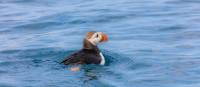 Atlantic Puffin swimming | ©Barrett & MacKay Photo