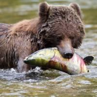 Grizzly Bear enjoying a juicy salmon | Tom Rivest
