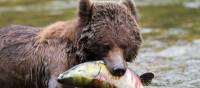 Grizzly Bear enjoying a juicy salmon | Tom Rivest