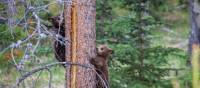 Black Bear cubs in the Rockies | Parks Canada