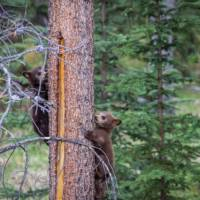 Black Bear cubs in the Rockies | Parks Canada • Parcs Canada
