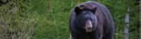 Black bear eating grass in Jasper NP |  <i>Parks Canada</i>