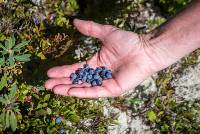 Blueberries grow wild in July and August throughout Quebec |  <i>Leigh McAdam</i>
