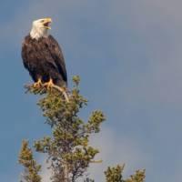 Watch for Bald Eagles during a coastal hike in Newfoundland   Newfoundland and Labrador Tourism