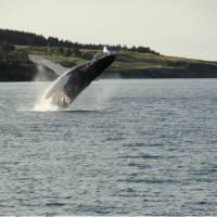 A whale breaches off the east coast of Newfoundland   Newfoundland and Labrador Tourism