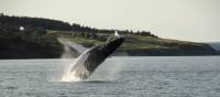 A whale breaches off the east coast of Newfoundland | Newfoundland and Labrador Tourism