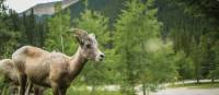 Female bighorn sheep in Jasper NP | Parks Canada