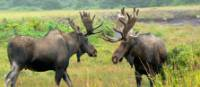 Moose-spotting in Newfoundland