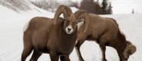 Bighorn sheep | Tourism Jasper