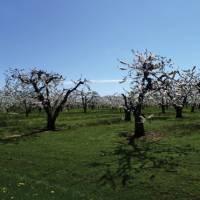 Fruit trees along the Niagara Peninsula | Nathalie Gauthier