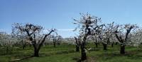 Fruit trees along the Niagara Peninsula | Nathalie Gauthier