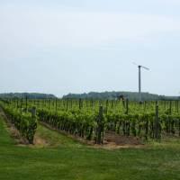 Vineyards line south shore of Lake Ontario