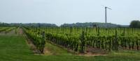 Vineyards line south shore of Lake Ontario