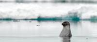 Curious seal in the waters surrounding Baffin Island | Michelle Valberg, Nunavut Tourism