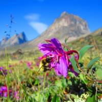 Arctic flora in bloom in Auyuittuq National Park | Parks Canada • Parcs Canada | ©Eric Brown
