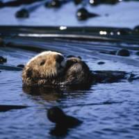 Sea otter in Clayoquot Sound, BC