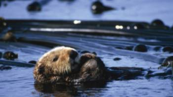 Sea otter in Clayoquot Sound, BC