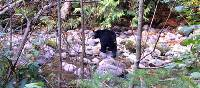 A black bear in search of salmon on BC's Sunshine Coast