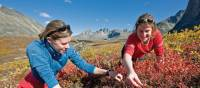 Berry picking in Tombstone Park | Gov't of Yukon / Fritz Mueller