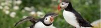 The Bay of Fundy is home to one of the most accessible puffin colonies in the world |  <i>New Brunswick Tourism</i>