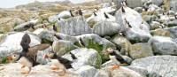 A day tour from Grand Manan allows close-up puffin views   New Brunswick Tourism
