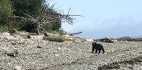 Waiting game with a black bear on the West Coast Trail |  <i>Patrick Troughton</i>