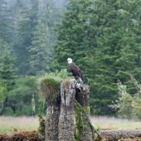 Bald Eagle, West Coast Trail | Kelly Kurtz