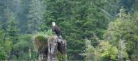 Bald Eagle, West Coast Trail | Kelly Kurtz