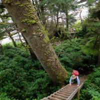 Ladders appear small compared to BC's immense old growth