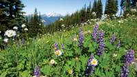 Summer wildflowers in the Coast Mountains, BC |  <i>Tourism Whistler/Mike Crane</i>