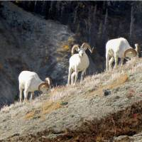 The largest concentrations of Dall's Sheep are found in Kluane and neighbouring Wrangell-St. Elias