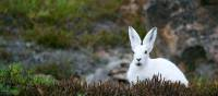 An Arctic Hare stays low on the tundra